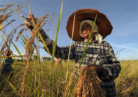 Rice farmers, Thailand